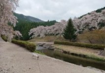 今年最後の花見 4/11 鮎河千本桜!!