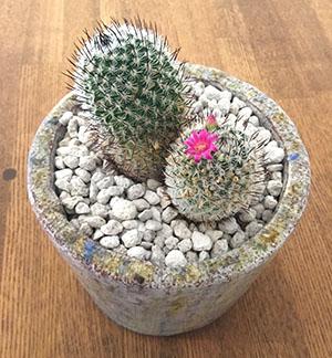 サボテン 花