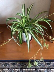 オリヅルラン 観葉植物